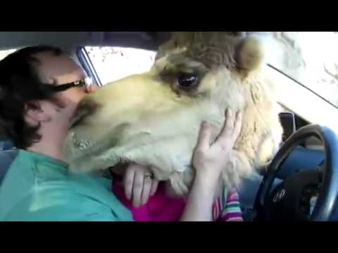 Camel Tries To Eat Girl! (Parents Laugh)