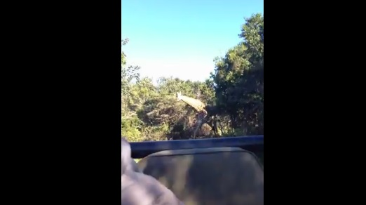 Video: Giraffe Goes Jurassic Park