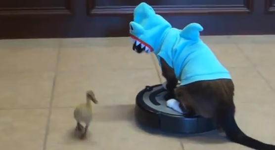 Video: Shark Cat on a Roomba
