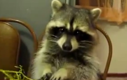 Video: A Raccoon Eating Grapes